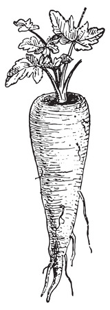 black and white plant: Parsnip, vintage engraved illustration. Dictionary of words and things - Larive and Fleury - 1895.