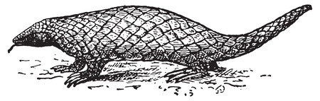 Pangolin or Scaly Anteater or Trenggiling, vintage engraved illustration. Dictionary of words and things - Larive and Fleury - 1895. Vector