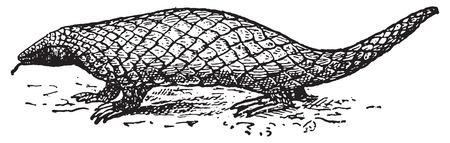 com escamas: Pangolin ou Anteater escamoso ou Trenggiling, ilustra��o gravada vintage. Dicion�rio de palavras e coisas - Larive e Fleury - 1895.