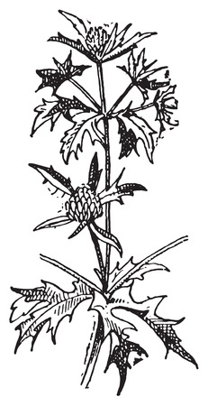 Panicaut or Panicaults, vintage engraved illustration. Dictionary of words and things - Larive and Fleury - 1895.