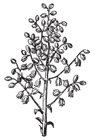 raceme: Panicle, vintage engraved illustration. Dictionary of words and things - Larive and Fleury - 1895. Illustration