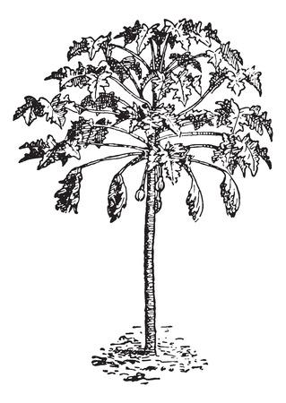 papaya tree: Papaya or Papaw or Pawpaw, vintage engraved illustration. Dictionary of words and things - Larive and Fleury - 1895. Illustration