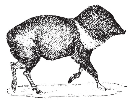 omnivore: Peccary or Javelina or Skunk pig, vintage engraved illustration. Dictionary of words and things - Larive and Fleury - 1895. Illustration