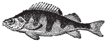 Perch, vintage engraved illustration. Dictionary of words and things - Larive and Fleury - 1895.