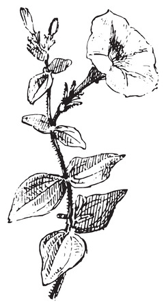 petunia: vintage engraved illustration. Dictionary of words and things - Larive and Fleury - 1895.