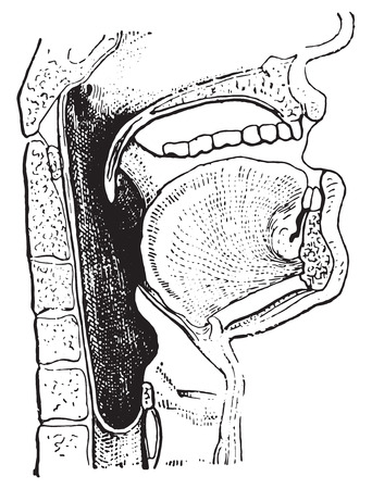 pharynx: Pharynx, vintage engraved illustration. Dictionary of words and things - Larive and Fleury - 1895.