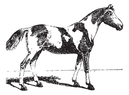 pinto: Pinto horse, vintage engraved illustration. Dictionary of words and things - Larive and Fleury - 1895.