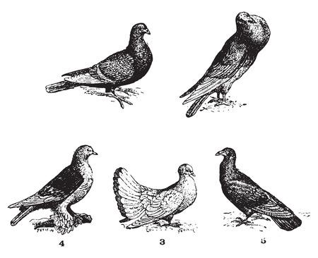 Pigeons, millésime gravé illustration. Dictionnaire des mots et des choses - Larive et Fleury - 1895. Vecteurs