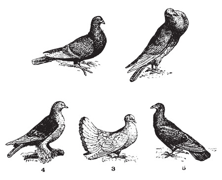 Pigeons, vintage engraved illustration. Dictionary of words and things - Larive and Fleury - 1895.