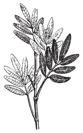herbaceous: Pilocarpus, vintage engraved illustration. Dictionary of words and things - Larive and Fleury - 1895.