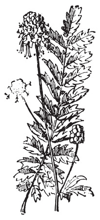 sanguisorba: Sanguisorba or Burnet, vintage engraved illustration. Dictionary of words and things - Larive and Fleury - 1895.