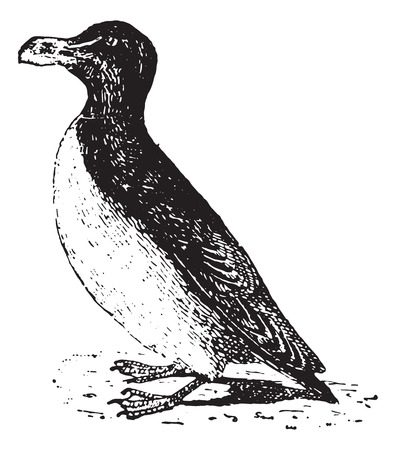 seabird: Penguin, vintage engraved illustration. Dictionary of words and things - Larive and Fleury - 1895. Illustration