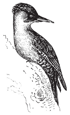 passerine: Woodpecker or Piculets or Wrynecks or Sapsuckers, vintage engraved illustration. Dictionary of words and things - Larive and Fleury - 1895.