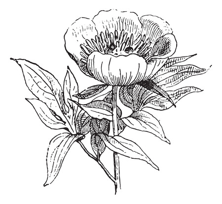 paeony: Paeonia or Peony or Paeony, vintage engraved illustration. Dictionary of words and things - Larive and Fleury - 1895. Illustration