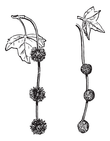 black and white plant: Platanus or Planes or Plane trees or Sycamore, vintage engraved illustration. Dictionary of words and things - Larive and Fleury - 1895.
