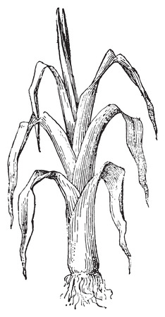 allium: Leek, vintage engraved illustration. Dictionary of words and things - Larive and Fleury - 1895.