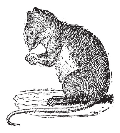 omnivore: Field Mouse or Muridae, vintage engraved illustration. Dictionary of Words and Things - Larive and Fleury - 1895 Illustration