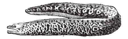 eel: Moray Eel or Muraenidae, vintage engraved illustration. Dictionary of Words and Things - Larive and Fleury - 1895