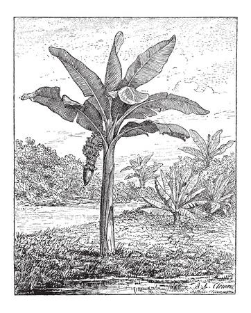 weegbree: Banana, Weegbree, of Musa sp., Toont vruchten en bloeiwijze, vintage gegraveerde illustratie. Woordenboek van woorden en dingen - Larive en Fleury - 1895 Stock Illustratie