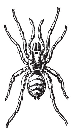 araneae: Tarantula or Theraphosidae, vintage engraved illustration. Dictionary of Words and Things - Larive and Fleury - 1895