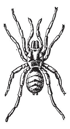 tarantula: Tarantula or Theraphosidae, vintage engraved illustration. Dictionary of Words and Things - Larive and Fleury - 1895