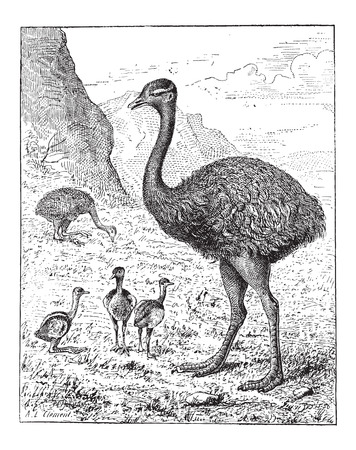 ornithological: Greater Rhea or Rhea americana, showing adult bird and hatchlings, vintage engraved illustration. Dictionary of Words and Things - Larive and Fleury - 1895