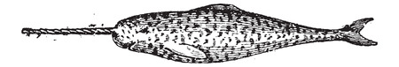 Narwhal, Narwhale or Monodon monoceros, vintage engraved illustration. Dictionary of Words and Things - Larive and Fleury - 1895
