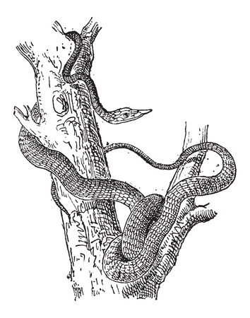slither: Largenose Earth Snake or Conopsis nasus, vintage engraved illustration. Dictionary of Words and Things - Larive and Fleury - 1895 Illustration