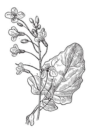 brassica: Rapeseed or Brassica napus, showing flowers, vintage engraved illustration. Dictionary of Words and Things - Larive and Fleury - 1895