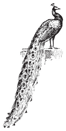 pheasant: Peacock, vintage engraved illustration. Dictionary of words and things - Larive and Fleury - 1895.