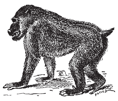primate biology: Papionini, vintage engraved illustration. Dictionary of words and things - Larive and Fleury - 1895.