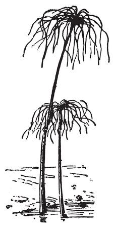sedge: Papyrus Plant or Cyperus papyrus, vintage engraved illustration. Dictionary of words and things - Larive and Fleury - 1895.
