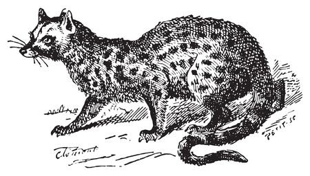 Paradoxurus, vintage engraved illustration. Dictionary of words and things - Larive and Fleury - 1895.
