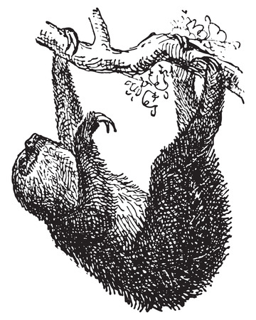 arboreal: Sloth, vintage engraved illustration. Dictionary of words and things - Larive and Fleury - 1895. Illustration