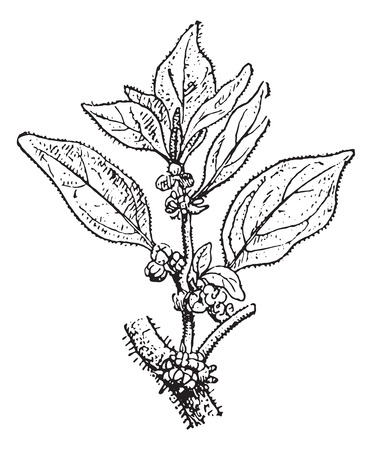 perennial: Parietaria, vintage engraved illustration. Dictionary of words and things - Larive and Fleury - 1895.