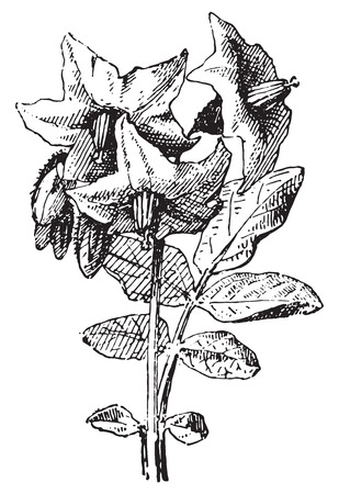 Potato flower and leaf, Parmentier, vintage engraved illustration. Dictionary of words and things - Larive and Fleury - 1895.