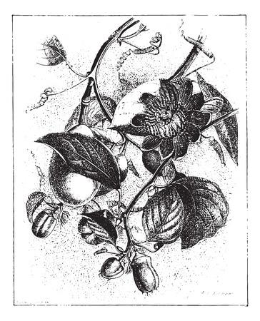 Gevleugelde-steel passiebloem of Passiflora alata, vintage gegraveerde illustratie. Woordenboek van woorden en dingen - Larive en Fleury - 1895.