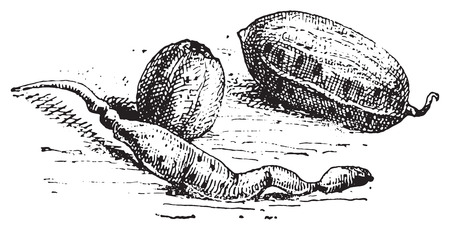 raw potato: Potato, vintage engraved illustration. Dictionary of words and things - Larive and Fleury - 1895.