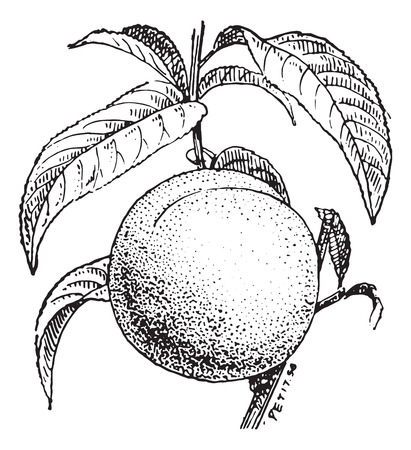 Peach fruit or Prunus persica, vintage engraved illustration. Dictionary of words and things - Larive and Fleury - 1895.