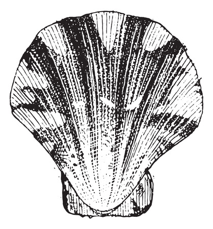 Comb mollusc, vintage engraved illustration. Dictionary of words and things - Larive and Fleury - 1895. Illusztráció