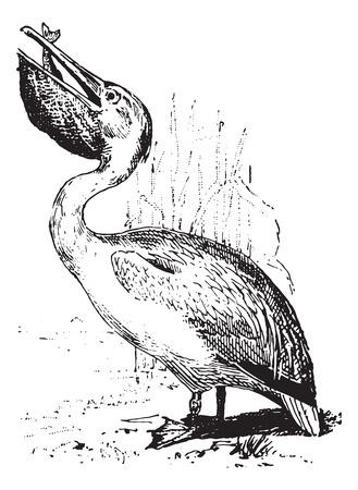 Pelican, vintage engraved illustration. Dictionary of words and things - Larive and Fleury - 1895. Vector