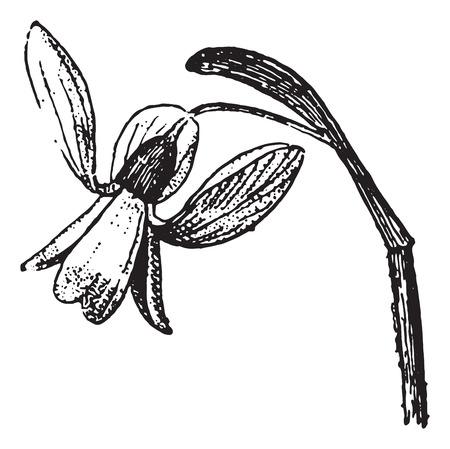 Snowdrop, vintage engraved illustration. Dictionary of words and things - Larive and Fleury - 1895.