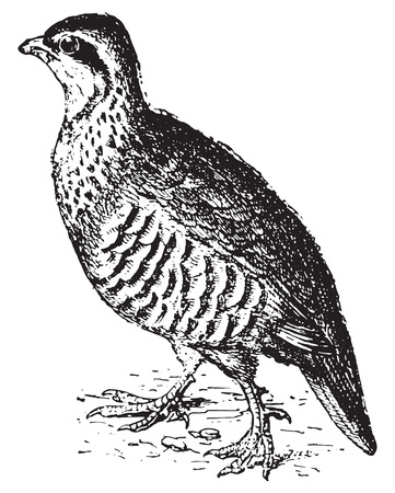 pheasant: Partridge, vintage engraved illustration. Dictionary of words and things - Larive and Fleury - 1895.