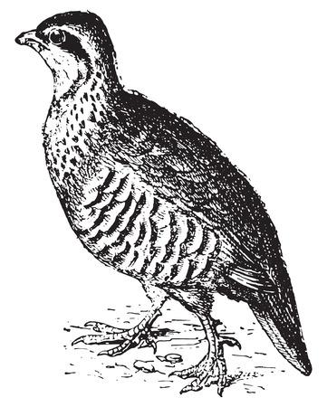 Patrijs, vintage gegraveerde illustratie. Woordenboek van woorden en dingen - Larive en Fleury - 1895.