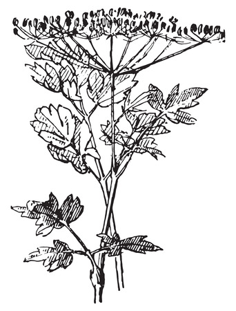 Parsley or Garden parsley or Petroselinum crispum, vintage engraved illustration. Dictionary of words and things - Larive and Fleury - 1895. Ilustrace
