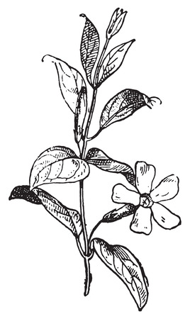 minor: Periwinkle or Vinca minor, vintage engraved illustration. Dictionary of words and things - Larive and Fleury - 1895.