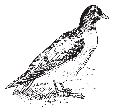 seabird: Petrel, vintage engraved illustration. Dictionary of words and things - Larive and Fleury - 1895. Illustration
