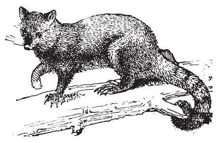 arboreal: Possum, vintage engraved illustration. Dictionary of words and things - Larive and Fleury - 1895.