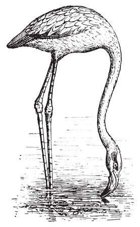 omnivore: Flamingo, vintage engraved illustration. Dictionary of words and things - Larive and Fleury - 1895.