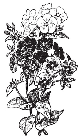 perennial: Phlox, vintage engraved illustration. Dictionary of words and things - Larive and Fleury - 1895. Illustration